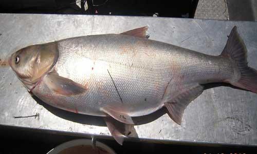 ماهی کپور نقره ای
