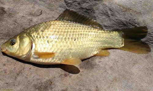 خرید ماهی کپور کوچک