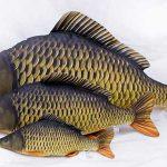 قیمت ماهی کپور معمولی