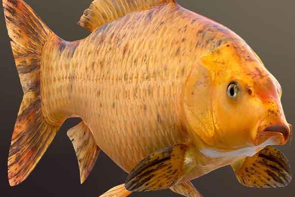 ماهی سالمون طلایی