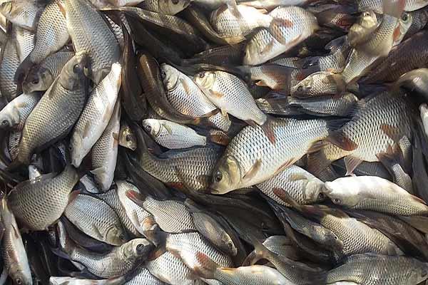 پخش ماهی کپور تازه