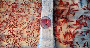 فروش غذای ماهی قرمز
